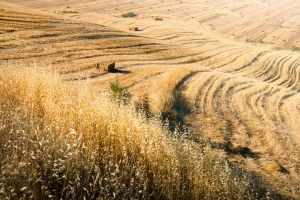 1407133_harvested_fields_with_straw_bales